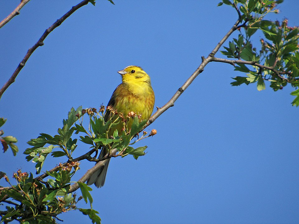 Yellowhammer: A Project Fear Crescendo