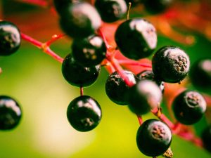Jane Graham Reed: Should the UK Government Trial Prophylactic Black Elderberry Dozes among those Suspected of Contact with COVID-19?