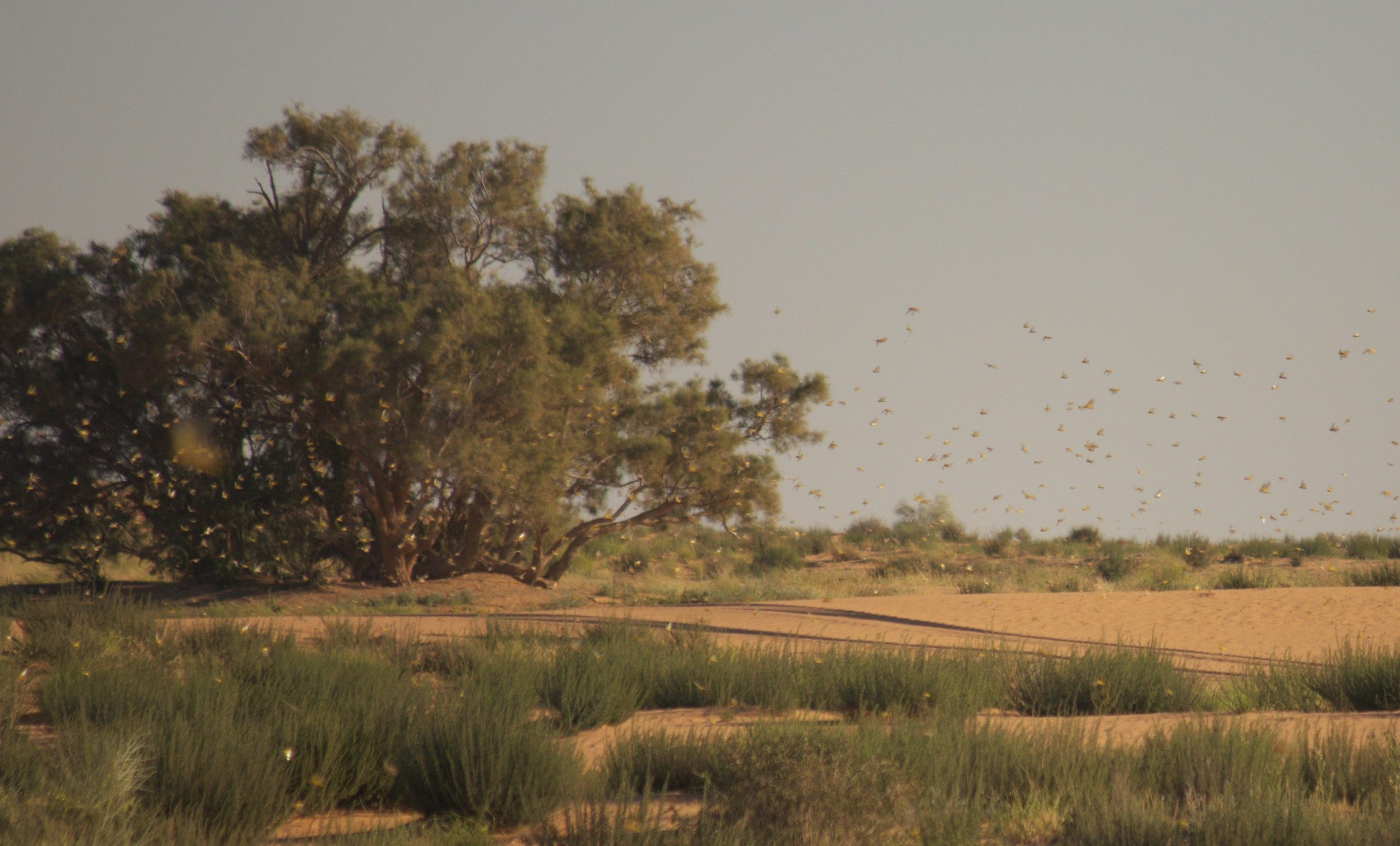 """Michael Snyder: """"Like Something out of the Book of Exodus"""": Locust Armies Are Devouring Entire Farms in Kenya in """"as Little as Thirty Seconds"""""""