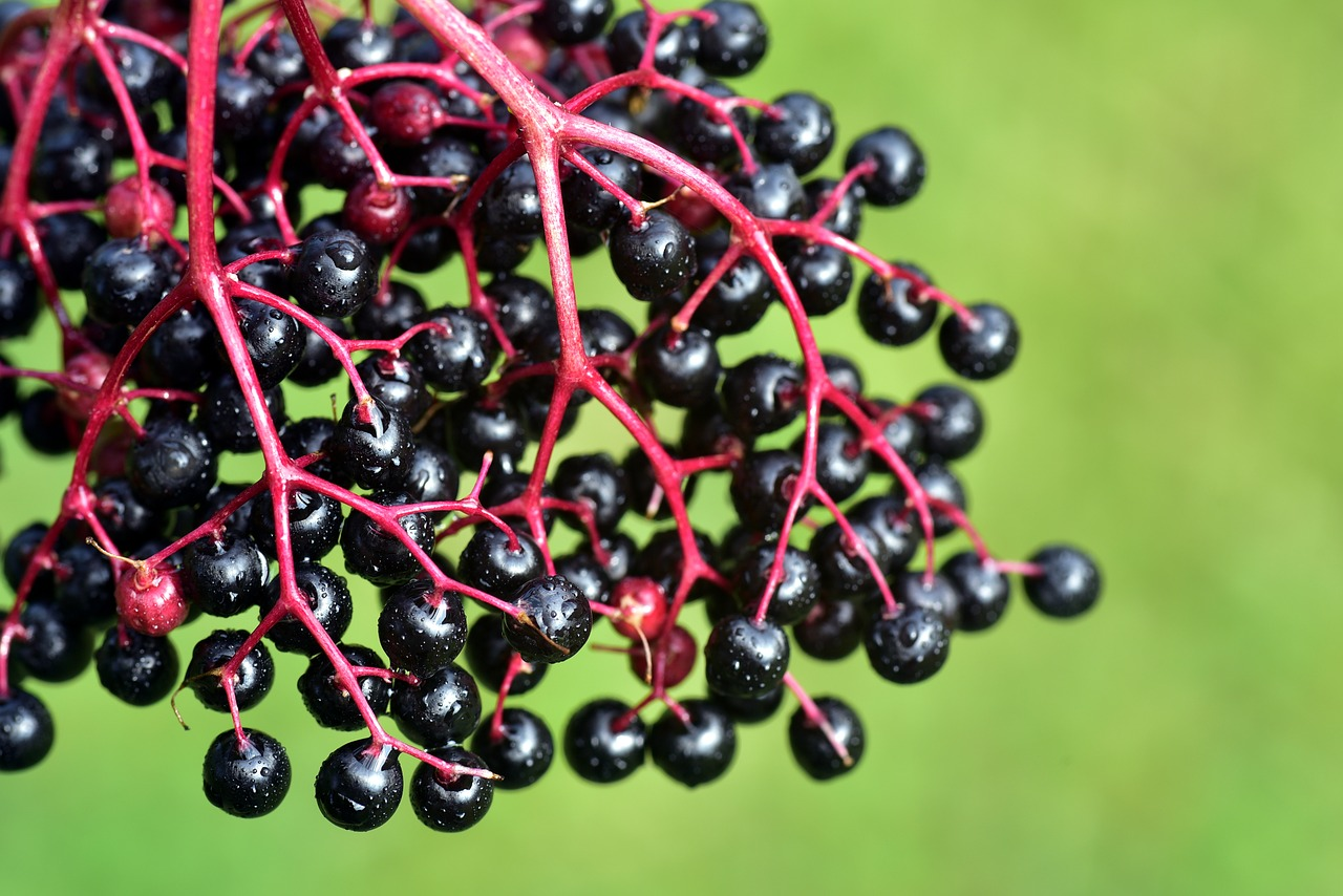 Jane Graham Reed: Could Black Elderberry Offer Protection from the Novel Coronavirus?