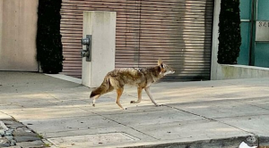 Coyotes Roam Empty Streets of San Francisco during Coronavirus Lockdown
