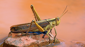 Locust Plague up to Twenty Times Worse than Last Wave Could Devastate Parts of Africa and Middle East