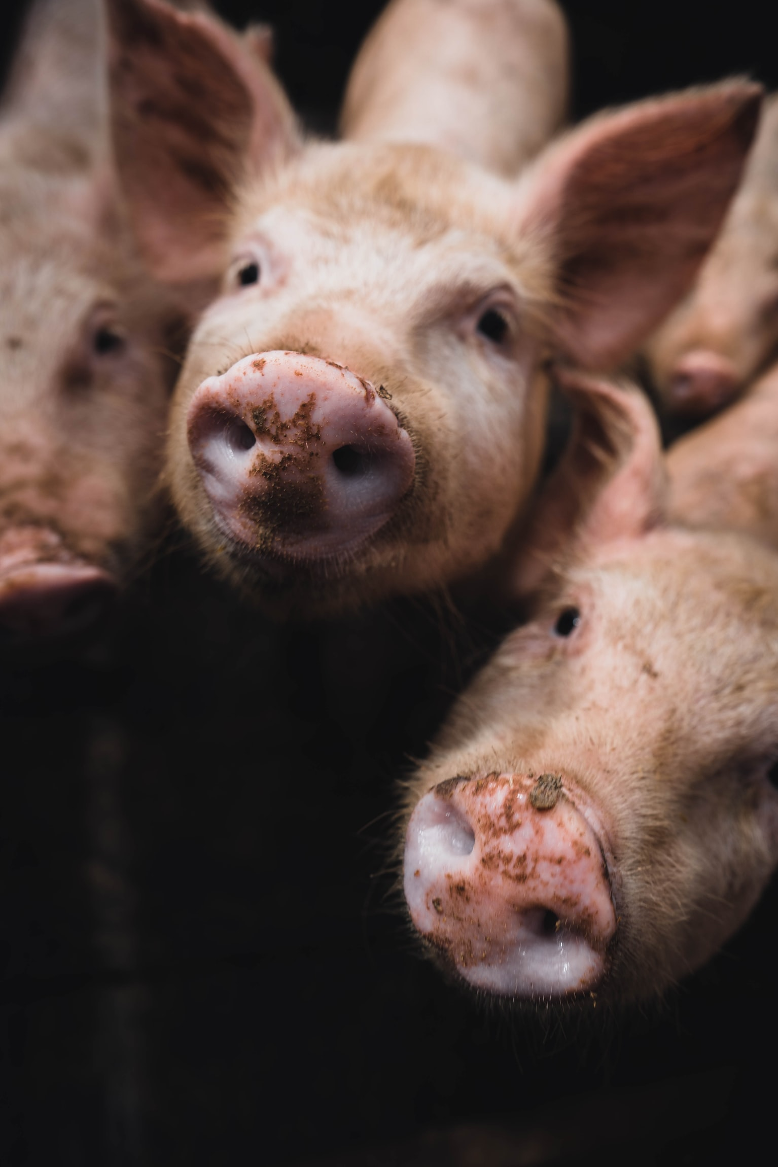 "Millions of Pigs, Chickens and Cattle Are Being Euthanized While the Media Warns ""Shortages"" Are Coming"